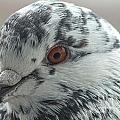 Pigeon Close-up by Jivko Nakev