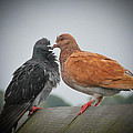 Pigeon Love by Terrence Downing