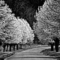 Pigeon Mountain Dogwoods In Black And White by Tara Potts
