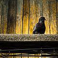 Pigeon On The Balcony by Weerapat Wattanapichayakul