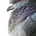 Pigeon Portrait by Jennifer Wheatley Wolf