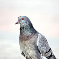 Pigeon Portrait by Pati Photography