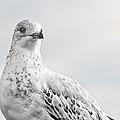 Pigeon Pride II by Nicola Nobile