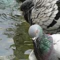 Pigeon by Recep Suha Selcuk