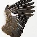 Pigeon Wing Showing Overlapping Feathers by Dorling Kindersley/uig