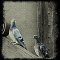 Pigeons In Damask by Gothicrow Images