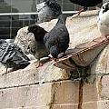 Pigeons by Recep Suha Selcuk