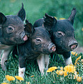 Piglets by Alan and Sandy Carey