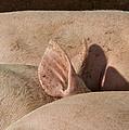 Piglets Napping 2 by Odd Jeppesen