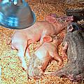 Piglets Sleeping Under Heat Lamp