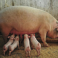 Momma Pig And Piglets by Terry DeLuco