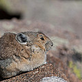 Pika In The Sun by Cascade Colors