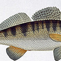 Pike Perch by Andreas Ludwig Kruger