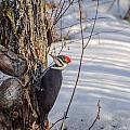 Pileated Woodpecker Winter by Roxy Hurtubise