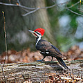 Pileated Woodpecker On Log by Timothy Flanigan