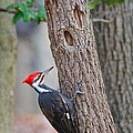 Pileated Woodpecker On Tree by Timothy Flanigan