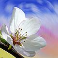Pin Cherry Swirl by Barbara St Jean