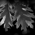 Pin Oak Leaves by Nathan Abbott