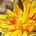 Pin Striped Tulip by Susan Herber