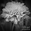 Pincushion Bw by Chalet Roome-Rigdon