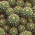 Pincushion Cactus by Rachel Cohen