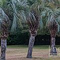 Pindo Palms by Dale Powell
