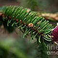 Pine Blossom by Zoran Berdjan