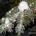 Pine Branch With Ice And Stars by Les Palenik