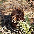 Pine Cone And Small Branch by Rob Luzier