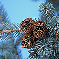Pine Cones by Ernie Echols