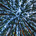 Pine Explosion by Everet Regal