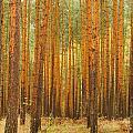 Pine Forest by Jivko Nakev