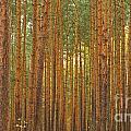 Pine Forest Lienewitz Germany by Jivko Nakev
