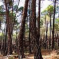 Pine Forest by Weston Westmoreland