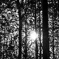 Pine Grove I by Joe Faherty