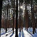 Pine Grove Vii by Joe Faherty
