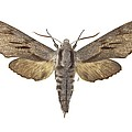 Pine Hawk Moth by Science Photo Library