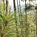 Pine Needles by Anadelia Rodriguez