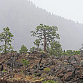 Pine On Lava by Tom Janca