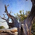 Pine Relic by Louie Terra