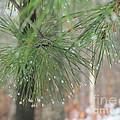 Pine by Sally Rice