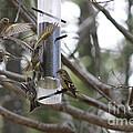 Pine Siskins In Flight by Leone Lund