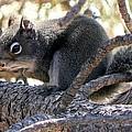 Pine Squirrel by Marilyn Burton