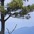 Pine Tree Along The Blue Ridge Parkway by Randall Nyhof