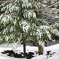 Pine Tree Covered With Snow 2 by Jeelan Clark