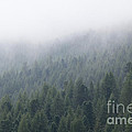 Pine Tree Forest In The Mist by Matteo Colombo