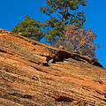 Pine Tree by Fred Stearns