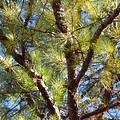 Pine Tree Glow 2014 by Maria Urso