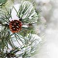 Pine Tree by Jelena Jovanovic