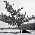 Pine Tree by Melinda Fawver